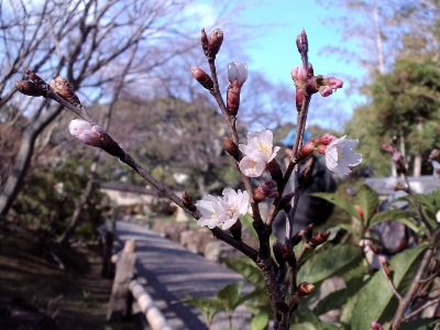 10-桜?