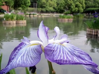 花菖蒲(薄紫)