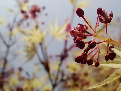 110409イロハモミジの花