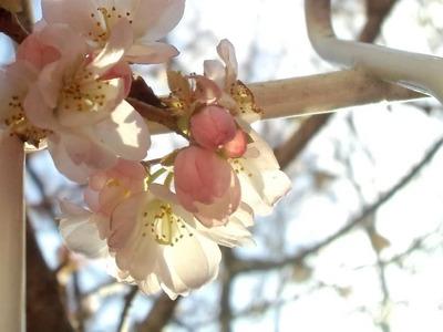 20110102桜
