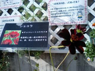 秋桜-ショコラ