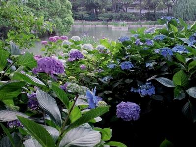 アジサイの園から望む花菖蒲
