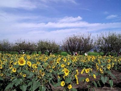 20101011ひまわり畑