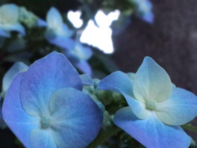 20110602アジサイ青
