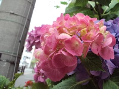 アジサイ(花屋2)