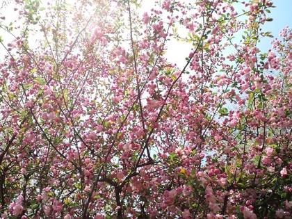 110409ハナカイドウの木