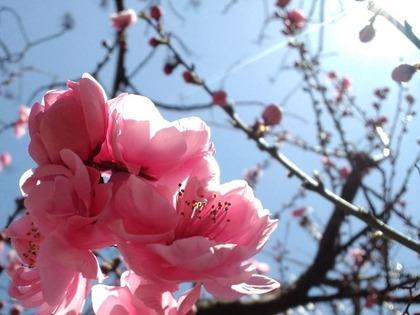 110405桃の花