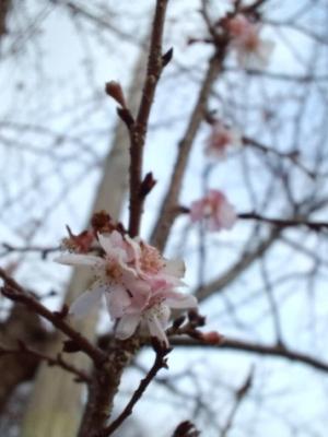 ピンク桜2