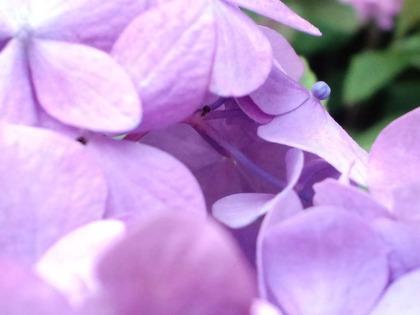 20110607アジサイ・紫アップ