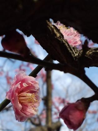 20110226梅八重ピンク1