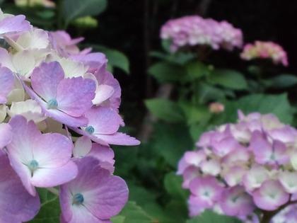 20110607アジサイ・紫