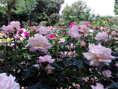大花壇のバラ