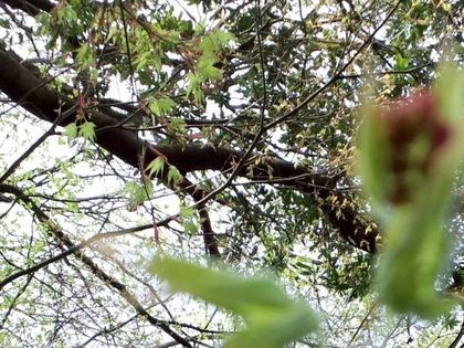 110409イロハモミジの葉緑