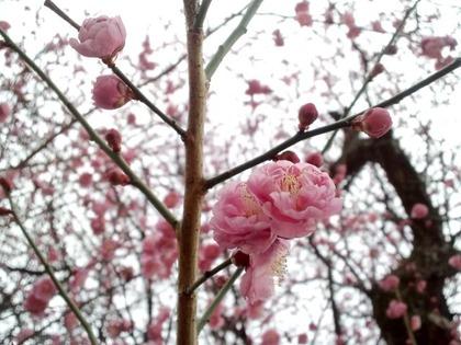 20110220新しい梅