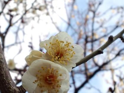 白梅20110211