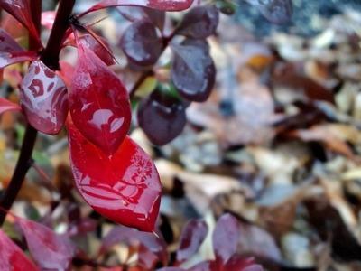20110103紅い葉
