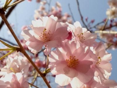 枝垂れ桜アップ1