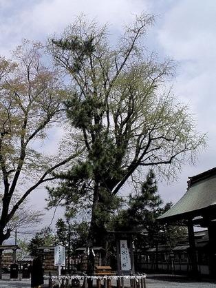 110423阿蘇神社・高砂の松