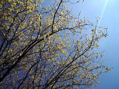 ソシンロウバイの木
