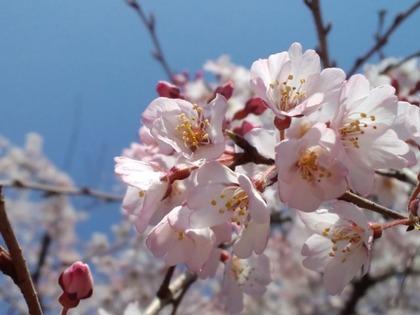 0326枝垂桜
