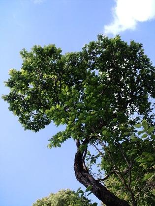 110428梅の木