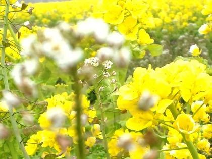0312菜の花とナズナ