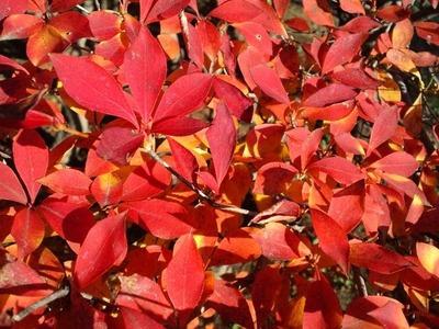 ツツジの紅葉20101205