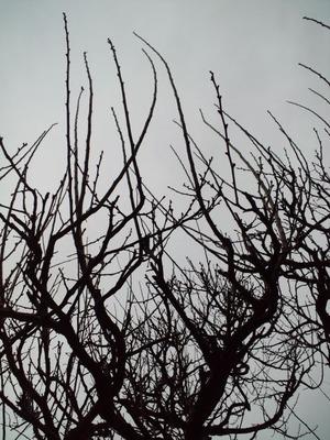 20110103梅の木