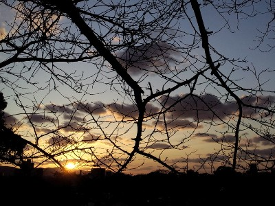 桜の木と夕陽