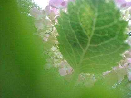 20110607アジサイと葉っぱ