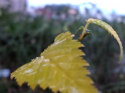 20110103ヤマブキの葉