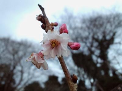 ピンク桜1
