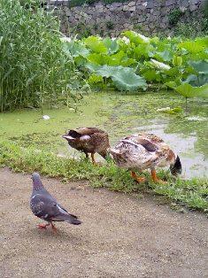 鴨、えさを食べる
