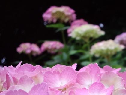 20110607アジサイ・ピンク2