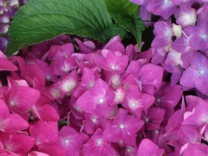 20110607アジサイ・濃ピンク