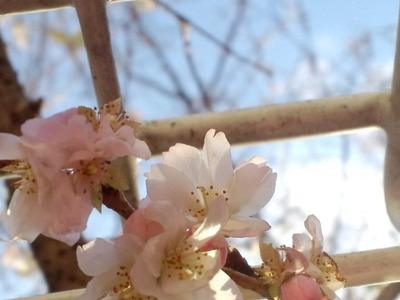 20110102桜2