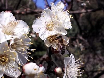 雪月花・ハチ
