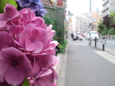 アジサイ(花屋)