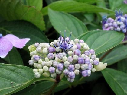 20110703アジサイの花